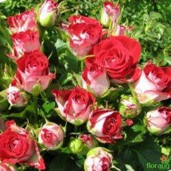 Роза мелкоцветковая Руби стар