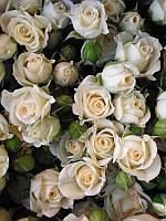 Роза мелкоцветковая Кремовая