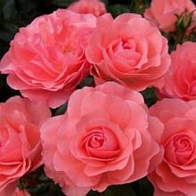 Роза дрібноквіткова Лінда