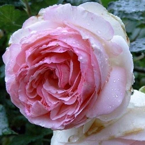 Роза английская Эдем