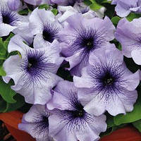 Семена петунии Лимбо F1, 100 сем. (драж.), голубая с синими прожилками грандифлора (крупноцветковая)