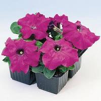 Семена петунии Лимбо F1, 100 сем. (драж.), фиолетовая  грандифлора (крупноцветковая)