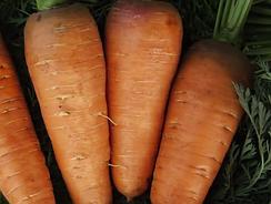 Семена ранней моркови (до 100 дней)