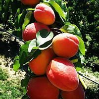 Саженцы абрикоса Фаралия (созревание-начало Июля)