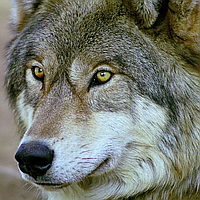 """Набор алмазной вышивки (мозаики) """"Волк"""""""