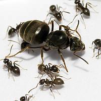 Муравьи Lasius niger, черный садовый муравей, black ant, garden ant