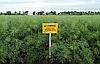 Семена озимого рапса Рохан «Лембке» (Lembke), фото 2