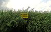 Семена озимого рапса Ксенон «Лембке» (Lembke), фото 2