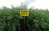 Семена озимого рапса Шерпа «Лембке» (Lembke), фото 4