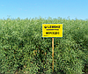 Мерседес Насіння озимого ріпаку «Лембке» (Lembke), фото 2