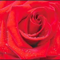 Фотообои, Красная роза 12 листов, 196х210 см
