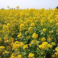 Рапс озимый Редстоун РС раннеспелый гибрид имеет сильную энергию прорастания, урожайность 38 - 45 ц / га