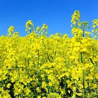 Рапс озимый Чорний велетень зимостойкий можно выращивать по всей Украине, урожайность т / га 6,8