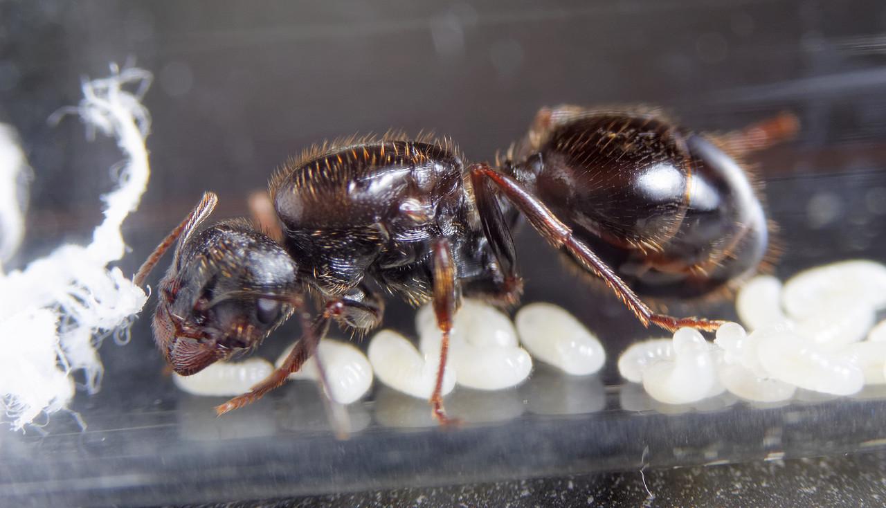 """Стартовая муравьиная колония """"Муравей Жнец"""" Messor Structor (Мессор Страктор). Без муравьев"""