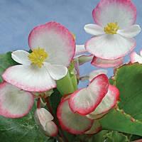 Семена Бегонии Лученец F1, 1000 сем. (драж.), двухцветной вечноцветущей зеленолистой