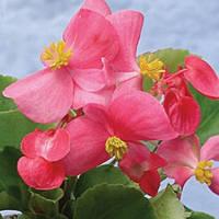 Семена Бегонии Падоли F1, 1000 сем. (драж.), розовой вечноцветущей зеленолистой