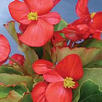 Семена Бегонии Скалка F1, 1000 сем. (драж.), красной вечноцветущей зеленолистой