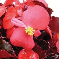 Семена Бегонии Аккорд F1, 1000 сем. (драж.), пурпурной вечноцветущей краснолистой