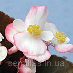Семена Бегонии Наход F1, 1000 сем. (драж.), двухцветной вечноцветущей краснолистной