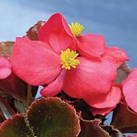 Семена Бегонии Ореб F1, 1000 сем. (драж.), темно-розовой вечноцветущей краснолистой