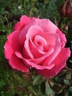 Роза штамбовая Прима балерина