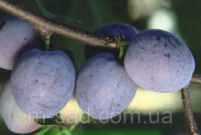 Саженцы Сливы Герман(ранний,скороплодный,урожайный), фото 2