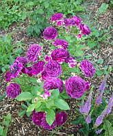 Роза Перпл Эден/Эбб Тайд (Ebb Tide/Purple Eden) Флорибунда