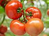 Насiння томату детермінантний для відкритого ґрунту Бехрам F1 500 нас. Enza Zaden