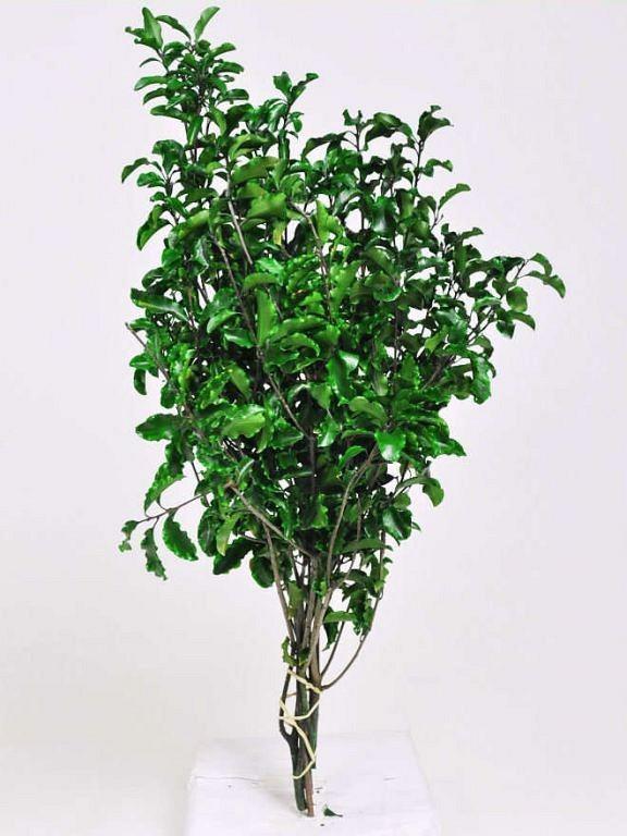 Смолосемянник зеленый стабилизированный  + - 100грм, высота 45см