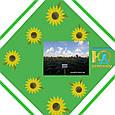 Гібрид соняшнику Пунтасол КЛ, фото 3