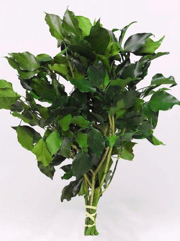 Плющ зеленый, стабилизированный, 40-50см