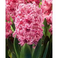 Гиацинт Spring Beauty махровый 1 луковица