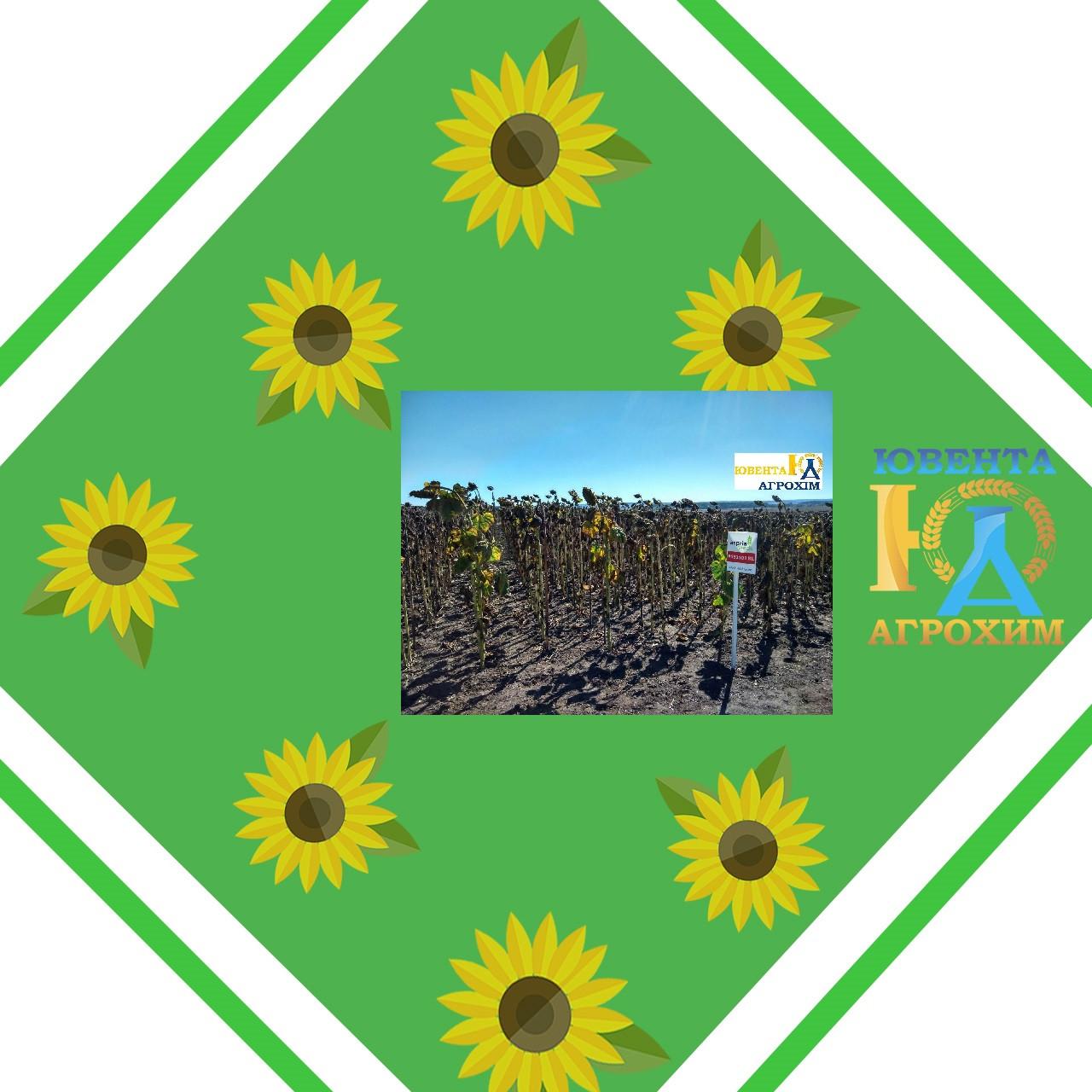 Насіння соняшнику АС34101КЛ