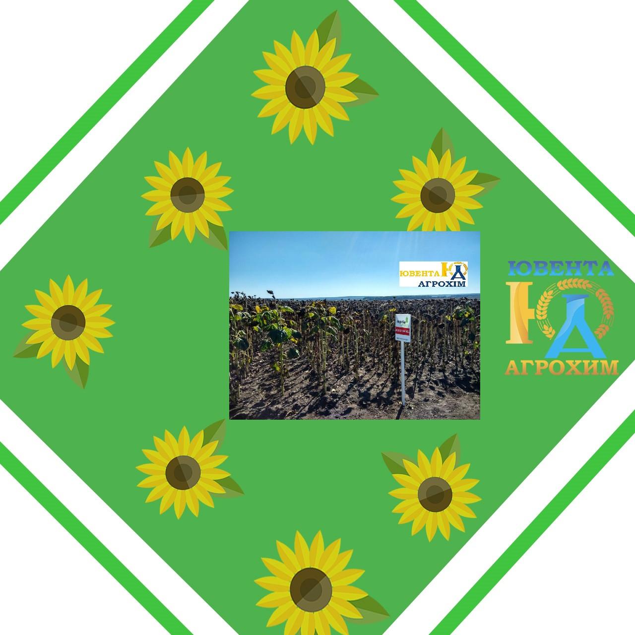 Насіння соняшнику АС33104КЛ