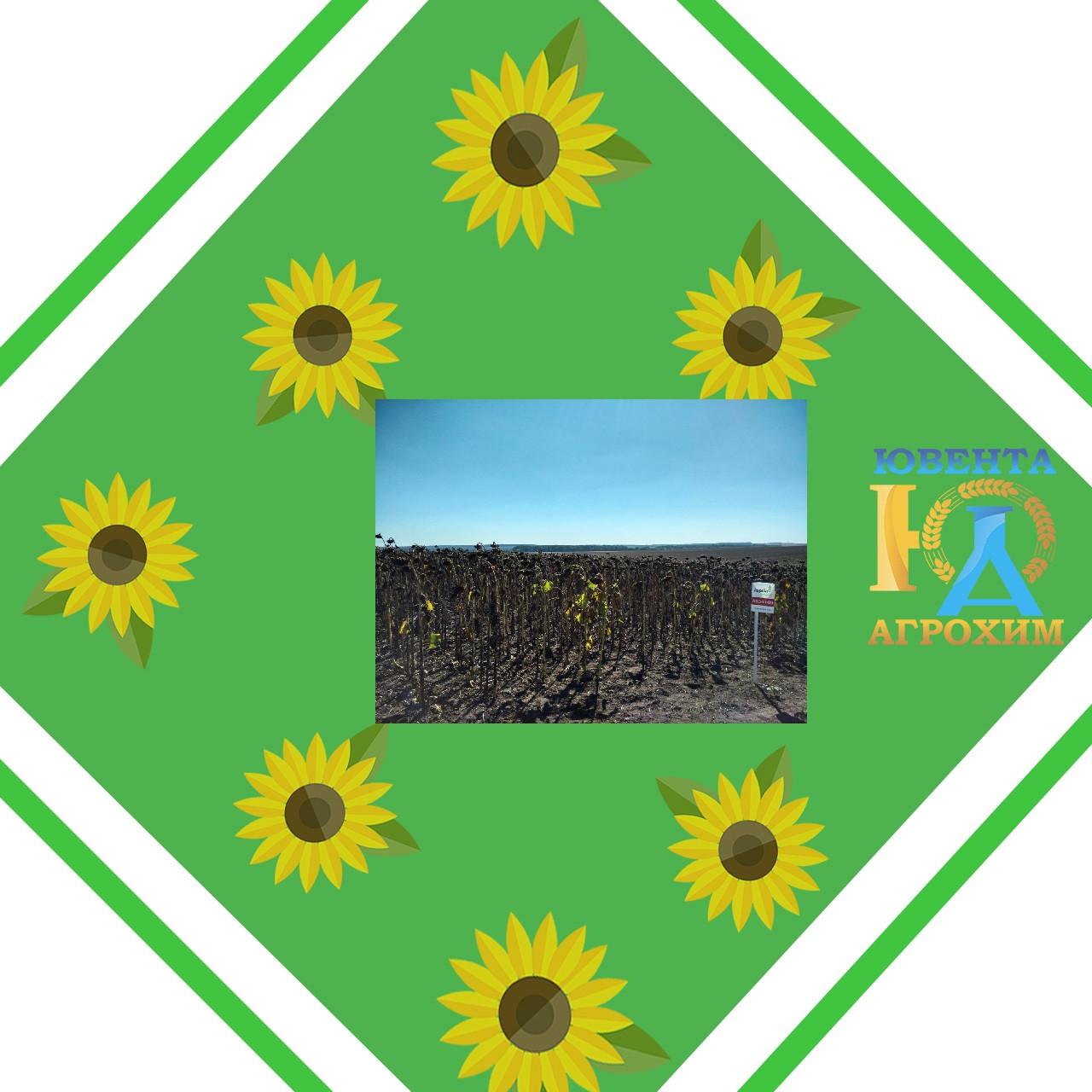 Насіння соняшнику АС33109 НО