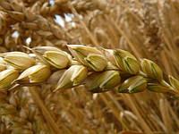 Озимая пшеница Farrel / Фаррелл 1 Репродукция