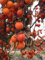 Семена орехов и плодово-съедобных растений