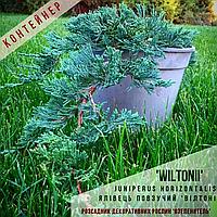 Ялівець повзучий 'Вілтоні'/Juniperus horizontalis 'Wiltoni' с3, фото 1