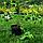 """Вейгела квітуча """"Рожева""""\ Weigela florida """"Pink"""" с3, фото 2"""