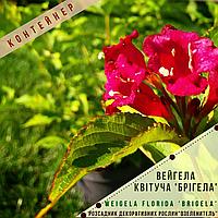 Вейгела квітуча Брігела / Мулен Руж/Weigela florida Brigela / Moulin Rougе с2, фото 1