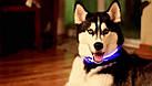 Светящийся ошейник для собак в виде жемчужин Pet's simulated pearl gleamy necklage / 185 мм, фото 6