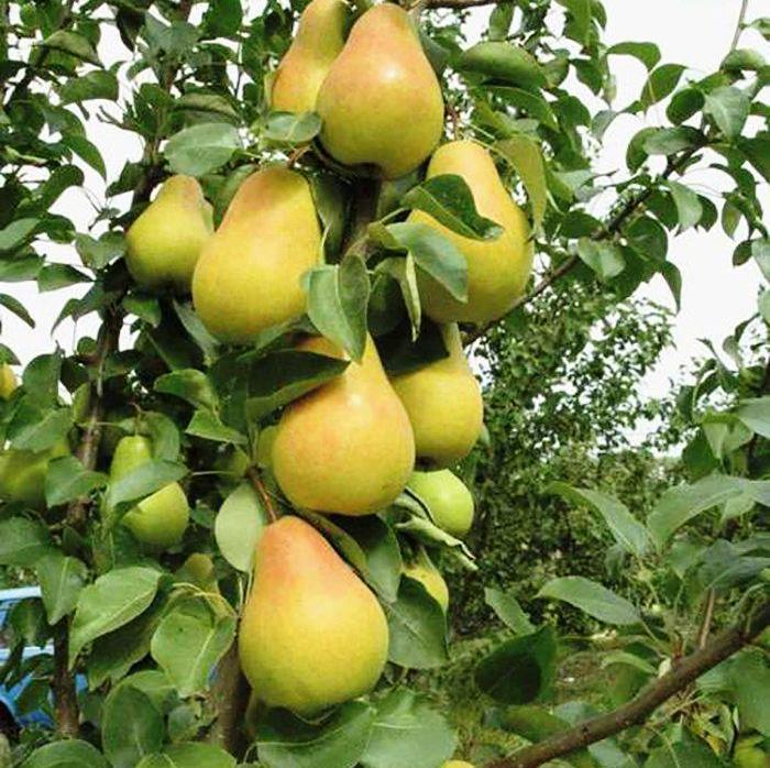 Саженцы Груши Колоновидной Декора (Деликор) - летне-позднего срока, урожайная, сладкая.