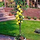 Саженцы Груши колоновидной Санреми - осенне-позднего срок, крупноплодная, морозостойкая, фото 2