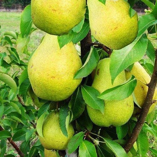 Саженцы Груши колоновидной Санреми - осенне-позднего срок, крупноплодная, морозостойкая