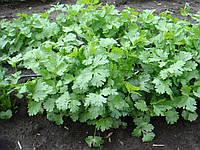 Семена кориандра Марино 1000 гр. Enza Zaden