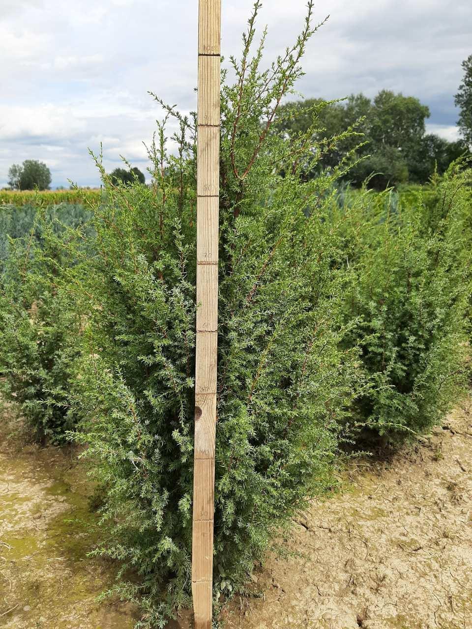 Можевельник обыкновенный Хиберника (Juniperus communis Hibernica) 90-100 см.