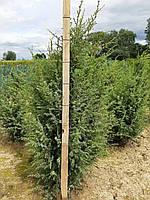 Можевельник обыкновенный Хиберника (Juniperus communis Hibernica) 90-100 см., фото 1