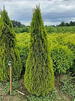 Туя западная Голден Смарагд (Thuja occidentalis Golden Smaragd) 160-180 см.