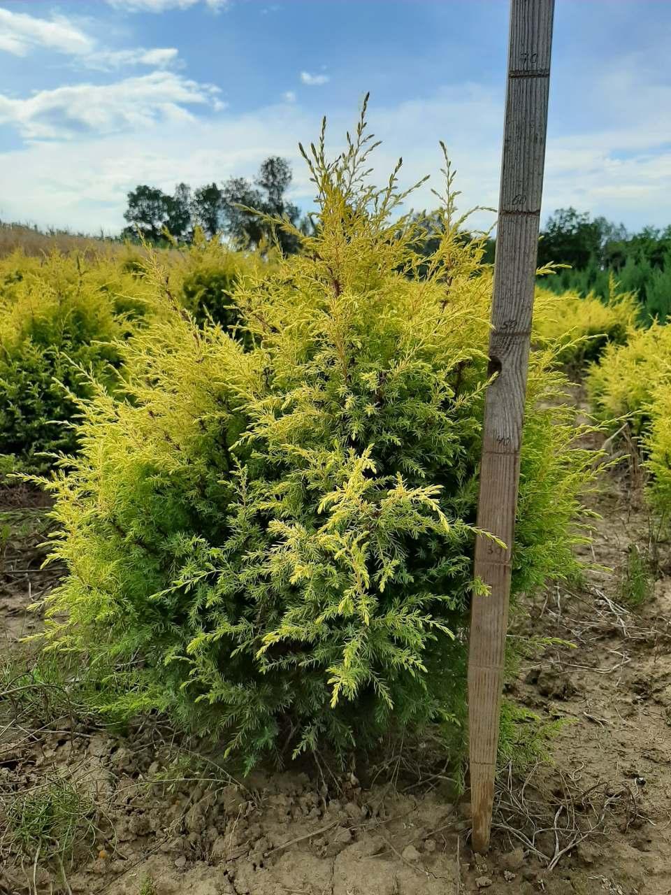 Можевельник обыкновенный Голд Кон (Juniperus communis Gold Cone) 50-60 см.
