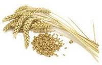 Зародыши пшеницы